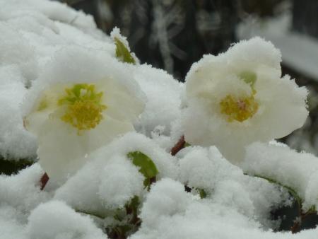 Helleborus niger subsp. niger par Jeanne MULLER