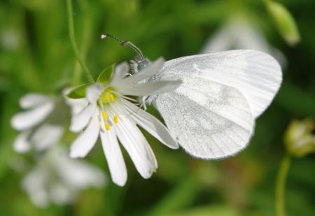 Stellaria holostea L. par Gisèle ARLIGUIE