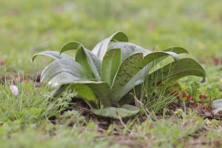 Himantoglossum hircinum (L.) Spreng. par Gilles SALAMA
