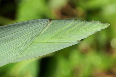 Polygonatum odoratum (Mill.) Druce par Liliane PESSOTTO