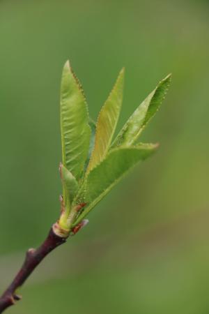 Prunus L. par Gisèle ARLIGUIE