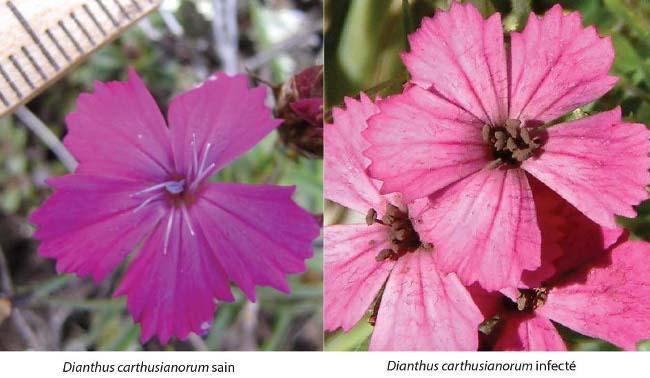 Dianthus carthusianorum sain, à gauche, et infecté par le charbon des anthères (anthères noirs-violets à texture poudreuse) à droite.