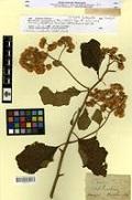 Zoom sur Baccharis senegalensis Pers. un type de MPU numérisé en 2008