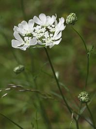 Orlaya grandiflora par Michel BOYER (Licence CC by SA Tela Botanica)