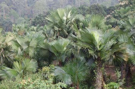 Population de Livistona jenkinsiana Griff. au Vietnam