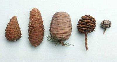 Formes comparées des cônes de quelques conifères. De gauche à droite : pin, épicéa, cèdre, séquoia, cyprès