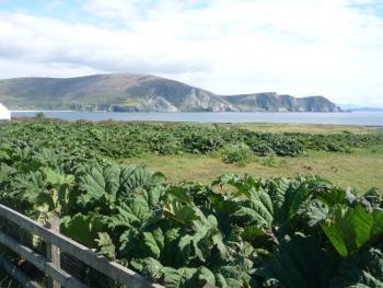 Population de Gunnera tinctoria sur la côte ouest d'Achill Island