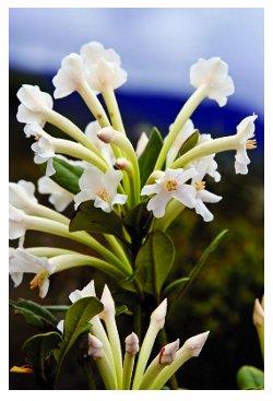 9 nouvelles espèces de plantes (entre autres) découvertes en Papouasie-Nouvelle-Guinée. Rhododendron_sp_nov_for_kim_400_