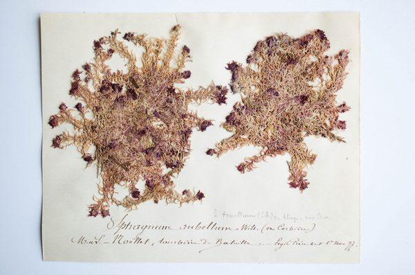 Planche de mousses Sphagnum rubellum