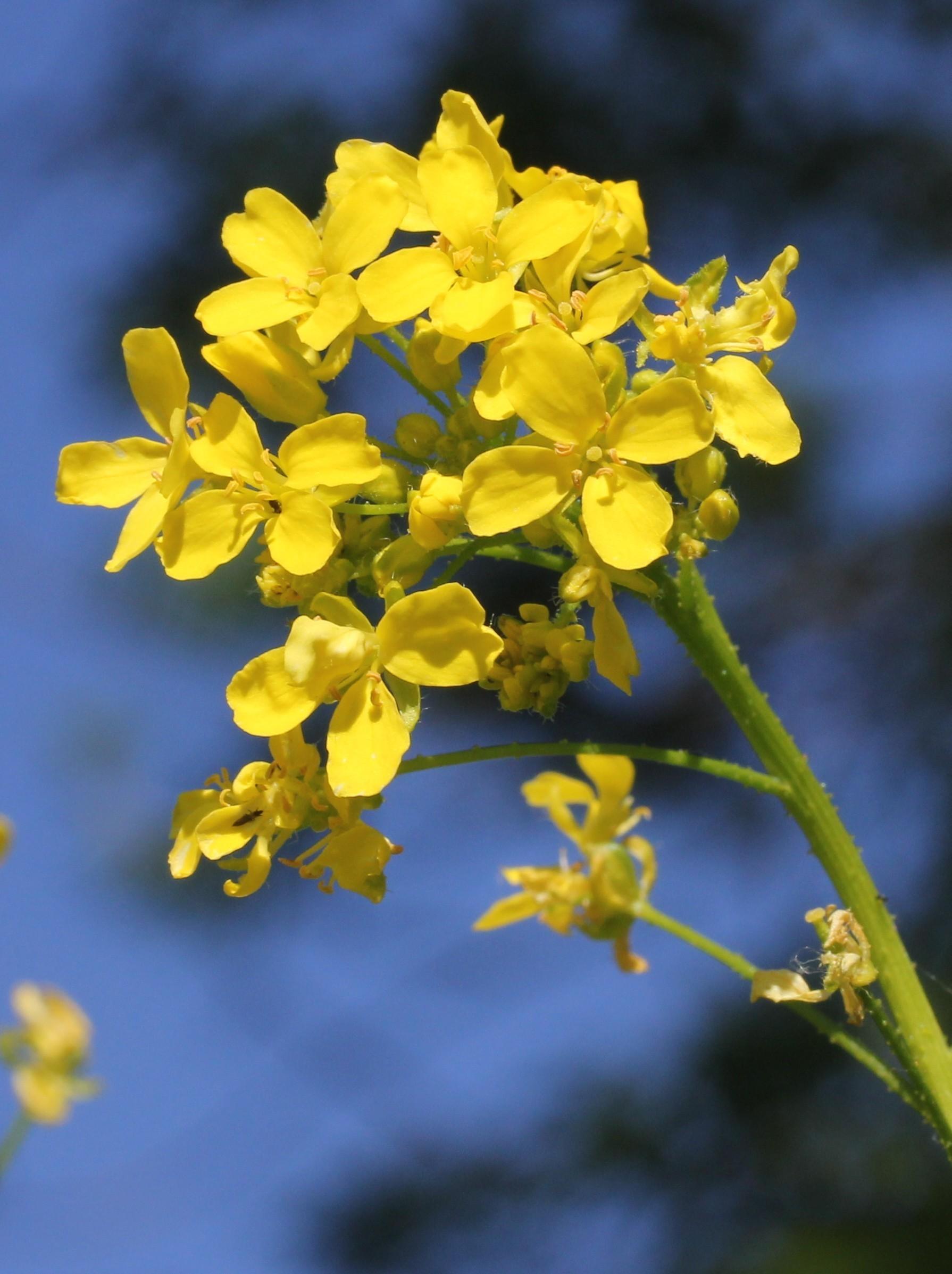 Bunias orientalis par Marie Portas, licence [CC-BY-SA] via Tela Botanica