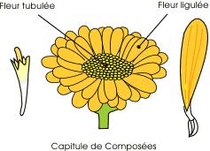 composées fleur