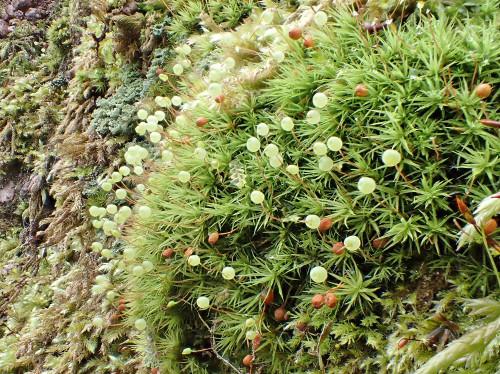 Bartramia pomiformis par Yoan Martin dans les Vosges (67) - CC BY-SA Tela Botanica