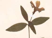 Image de Vinca minor de l'herbier de Montpellier