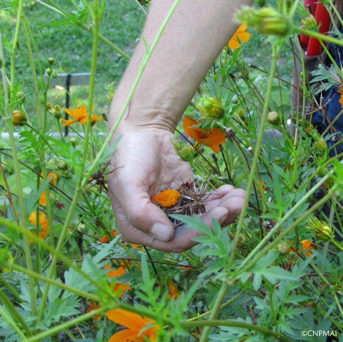 recolte-de-semences-de-cosmos