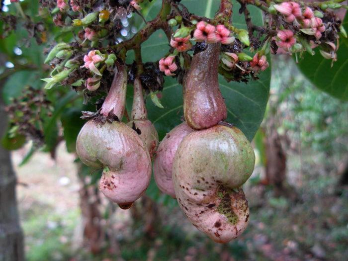 fruit d' Anacardium occidentale