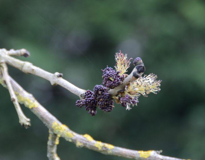 Fraxinus excelsior L. par Michel Pansiot