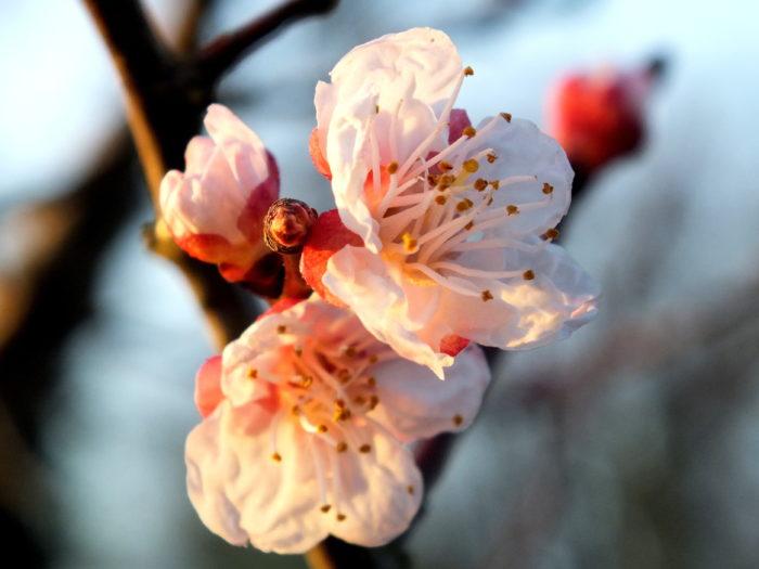 Prunus armeniaca L. par Thérèse BIRET