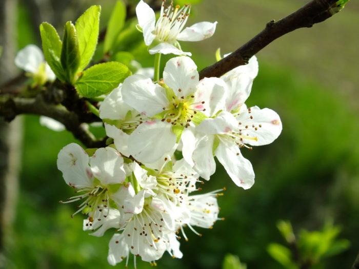 Prunus domestica L. par Thérèse BIRET
