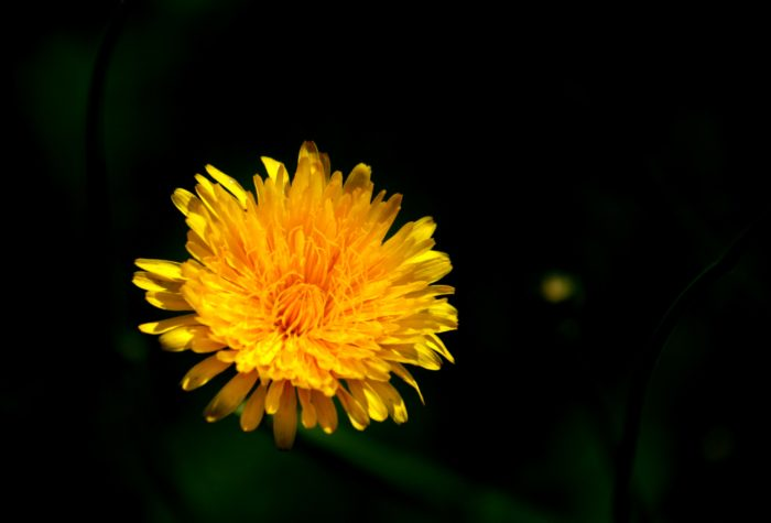 Taraxacum officinale L. par EL HOUSSINE Bouiamrine