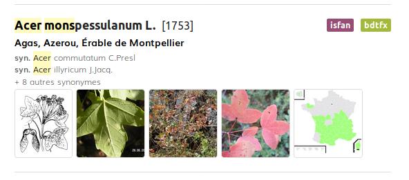 Illustration du résultat d'une recherche sur l'acer de Montpellier