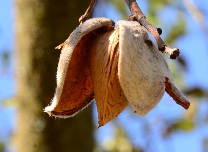 Prunus dulcis (Mill.) D.A.Webb (bdtfx) par Michel Pansiot