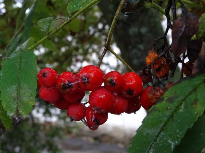 Sorbus aucuparia L. (bdtfx) par Alain Bigou