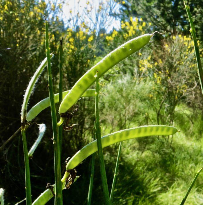 Spartium junceum L. (bdtfx) par Madeleine Sarran