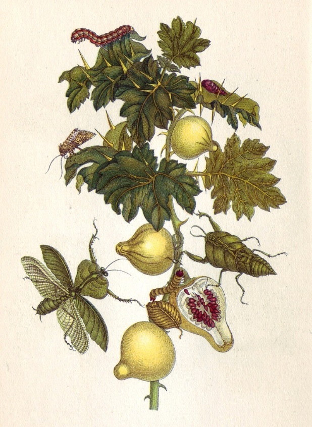 Planche 27 de Metamorphosis insectorum Surinamensium. Au centre, Solanum mammosum par Maria Sibylla Marian. Wikimedia Commons