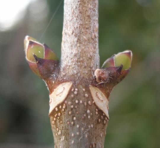 Acer pseudoplatanus bourgeons (1)