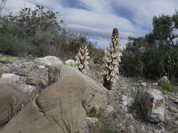 Cistanche phelypea (L.) Cout. (Orobanchaceae) Desierto de Tabernas Almeria Andalousie Espagne R0017142