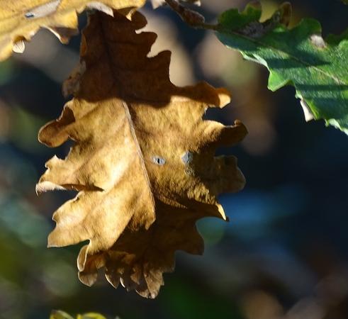 Quercus pubescens Willd. par Françoise Peyrissat