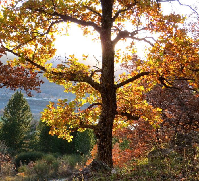Quercus pubescens Willd. par Madeleine Sarran