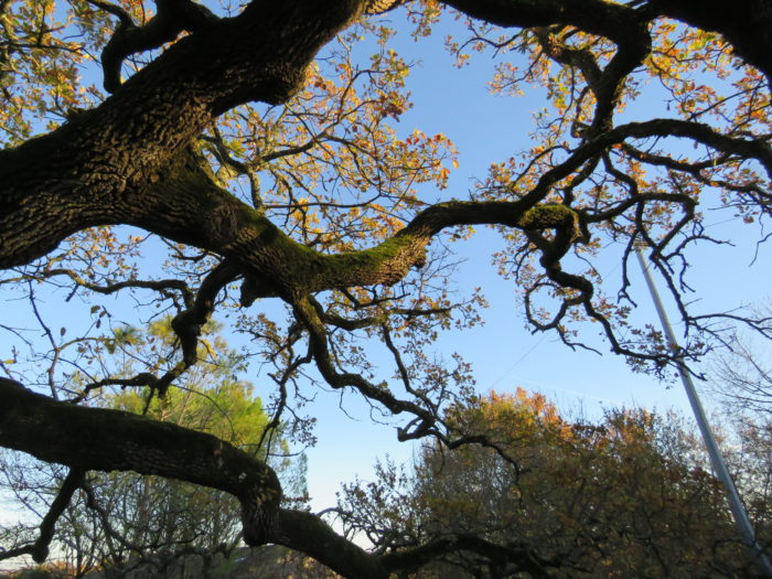 Quercus pubescens Willd. par Pauline Lefort2