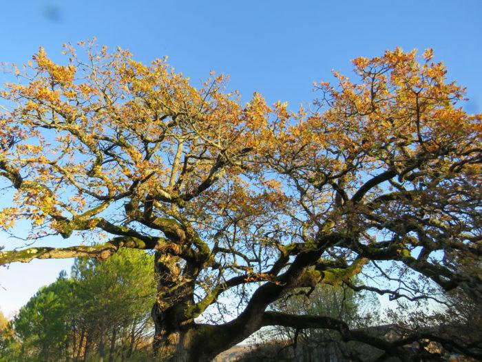Quercus pubescens Willd. par Pauline Lefort