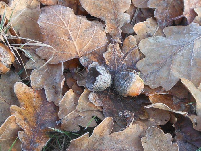 Quercus pubescens Willd. par Colette Charlet