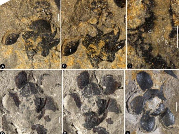 Fossile de Nanjinganthus dendrostyla, la plus ancienne plante à fleur jamais découverte. NIGPAS