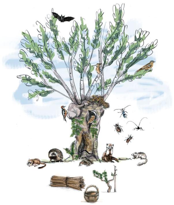arbre tetard