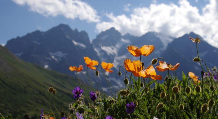 Pavots du jardin alpin du Lautaret