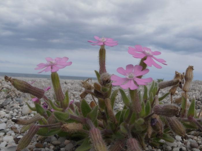 Silene littorea Brotero subsp. littorea (Caryophyllaceae) Playa de los Muertos Carboneras Almeria Andalousie Espagne R0017130