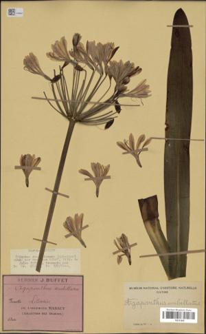 Spécimen d'Agapanthus umbellatus - MNHN