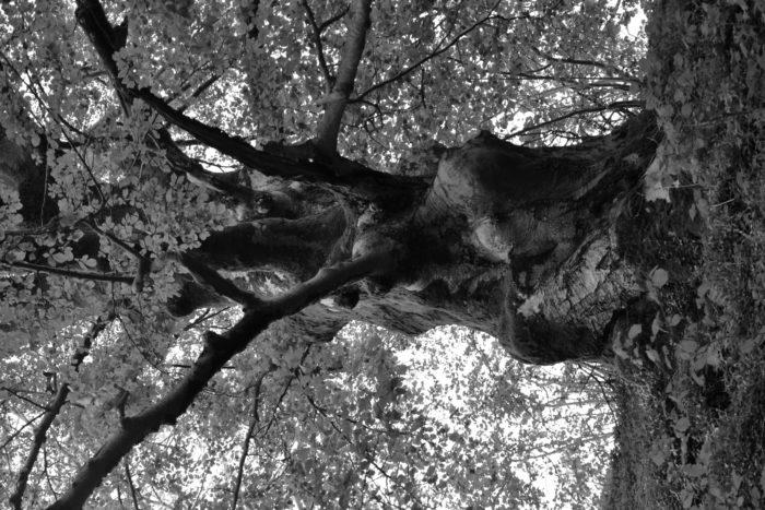 Fagus sylvatica L. par Happe David