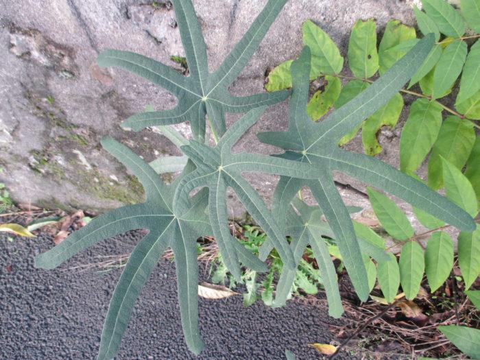 Ficus carica L. (bdtfx) par Michèle Gozard