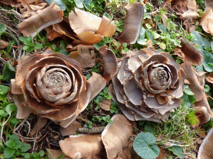 Photo de Rose de Cèdre de l'Atlas