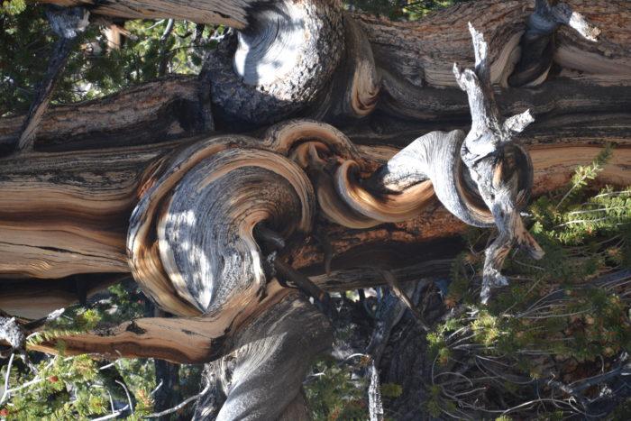 Pinus longaeva par Happe David