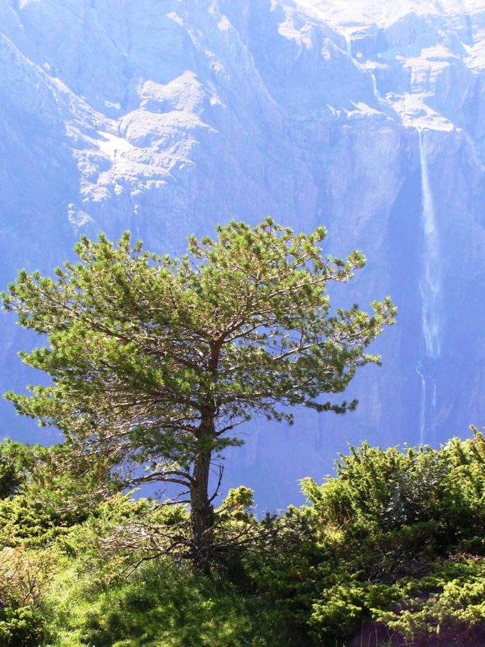Pinus mugo subsp. uncinata (Ramond ex DC.) Domin par Alain Bigou