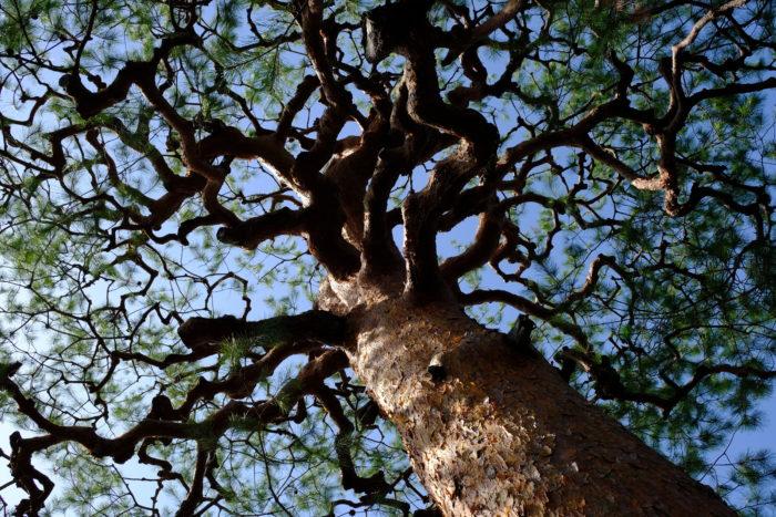 Pinus spp par Geraldine Oudin