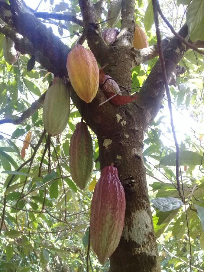 Theobroma cacao L. (bdtxa) par Yves DEMOUY