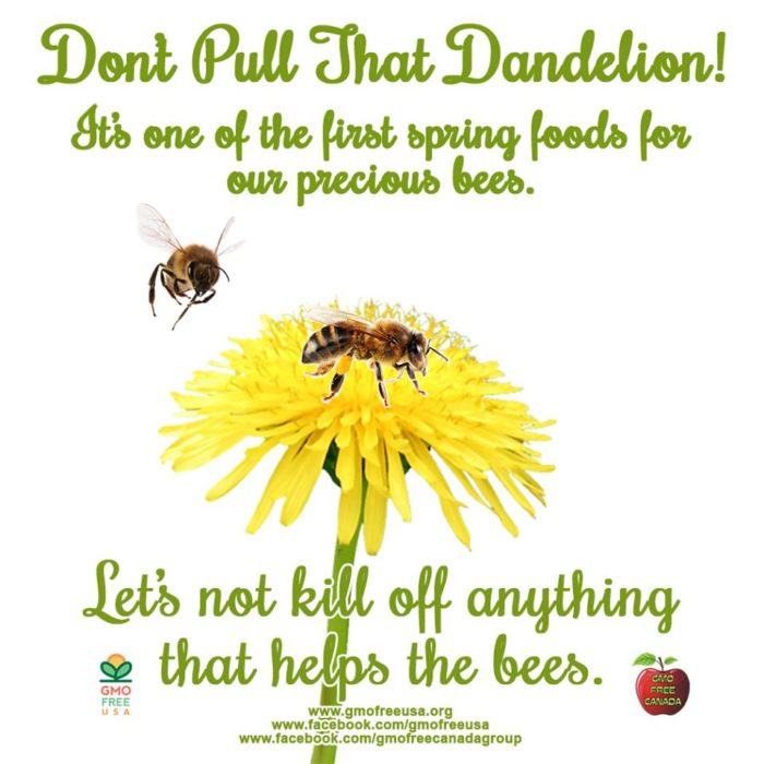 affiche pissenlit-abeilles