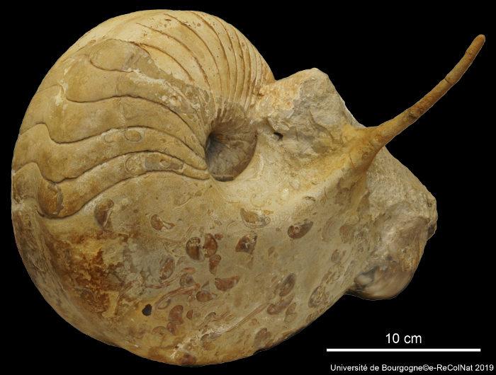 Photo de Paracenoceras spinatum Tintant, 1989 holotype