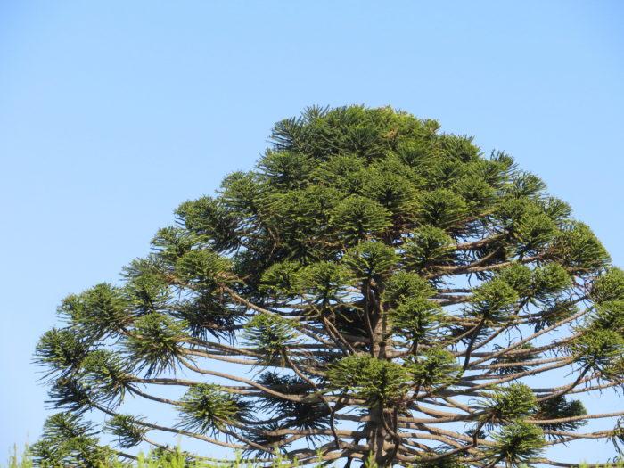 Araucaria bidwillii Hook. (bdtfx) par Michel Gaubert